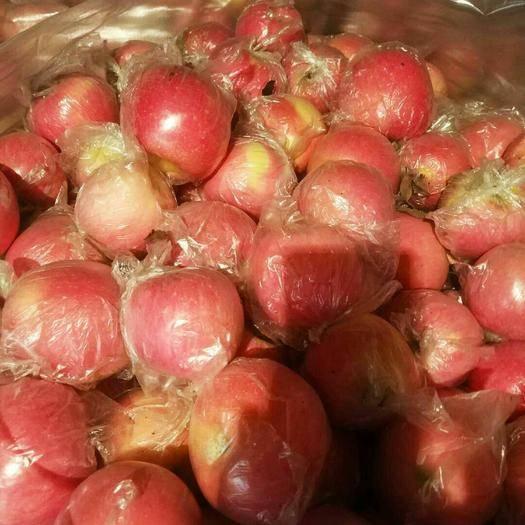 陜西省咸陽市禮泉縣 陜西禮泉紅富士蘋果現在開始大量采摘中,貨源充足,