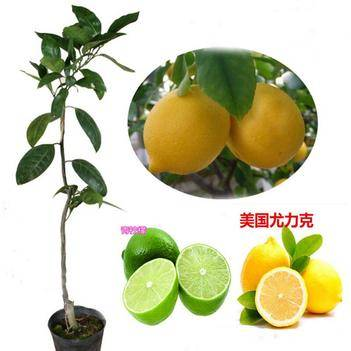 美國尤力克檸檬,泰國青檸檬,香水檸檬苗基地直銷三包發貨