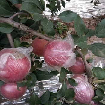 昌紅富士蘋果 55mm以上 全紅 膜袋