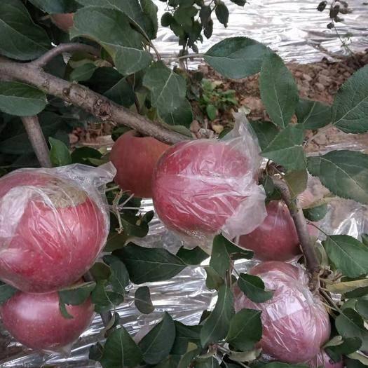 河南省商丘市虞城縣昌紅富士蘋果 55mm以上 全紅 膜袋
