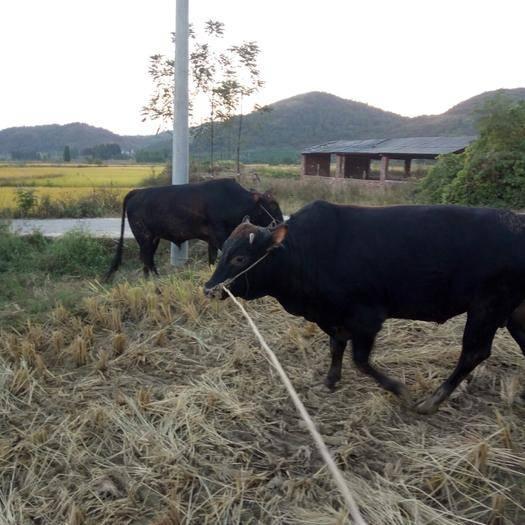 湖南省永州市道縣 各種牛,西門塔爾牛,肉牛,雜交牛,土黃牛,等,價格面議,