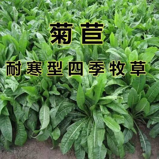 江蘇省宿遷市沭陽縣 多年生高產量耐寒牧草菊苣種子