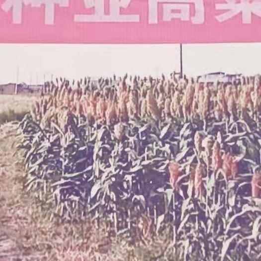 河北省滄州市青縣紅纓子高粱種子 紅櫻子高粱種
