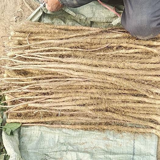 山東省菏澤市牡丹區鐵棍山藥苗 現在已經開挖了,有需要的親們趕緊預訂了