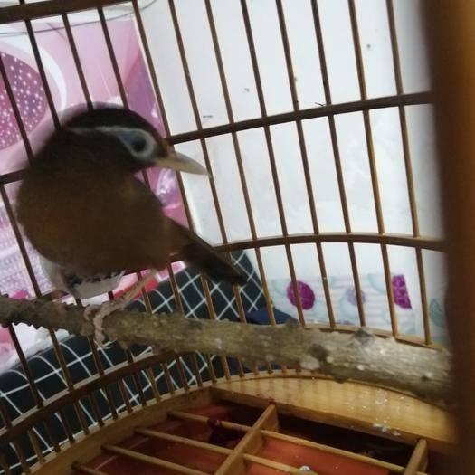 廣東省廣州市天河區畫眉鳥 喜歡就好