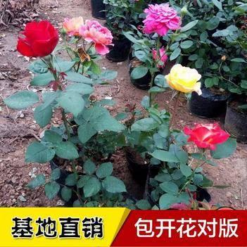 月季花苗 多种颜色可供选择 现挖现卖保证成活