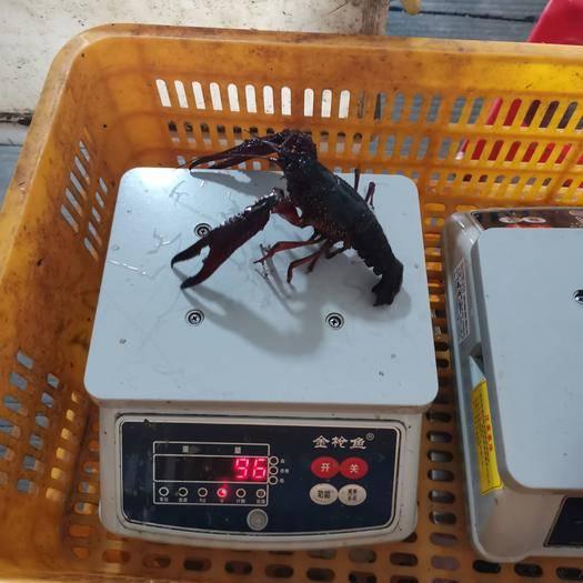 湖北省荊州市洪湖市洪湖小龍蝦 龍蝦常年供貨10-3月份只有兩蝦 789  中紅,保證無空殼
