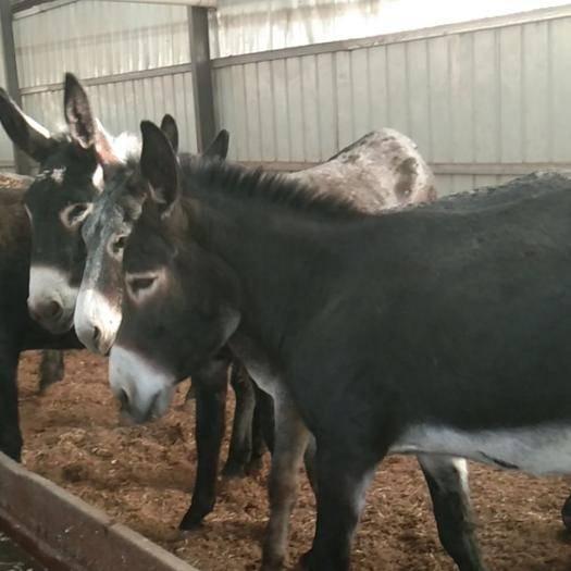 山西省臨汾市永和縣 有需要肥驢的,.兩牙大母驢,兩牙公驢