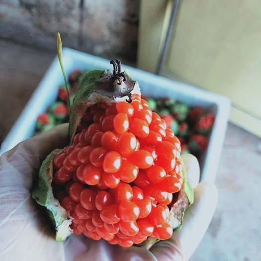 云南省玉溪市通海縣重樓種子 出售滇重樓高桿多芽種子