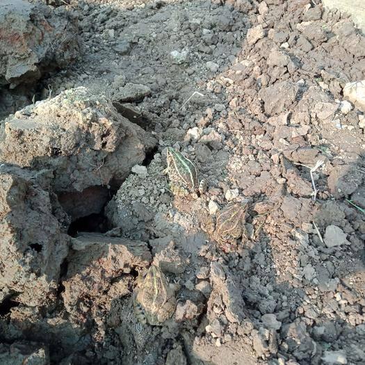 湖北省天門市天門市青蛙 現挖現賣的活物。
