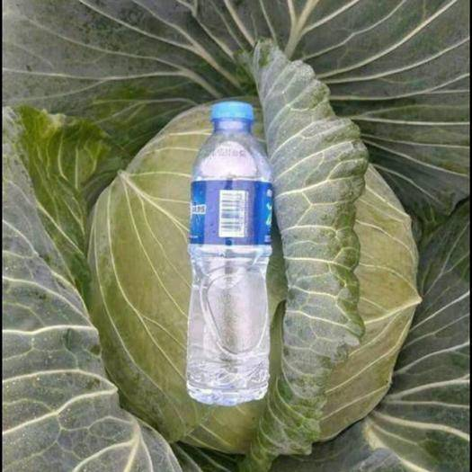 寧夏回族自治區固原市隆德縣 現貨300噸   平包菜