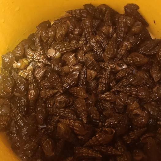 廣西壯族自治區柳州市柳南區山坑螺 淡水野生螺
