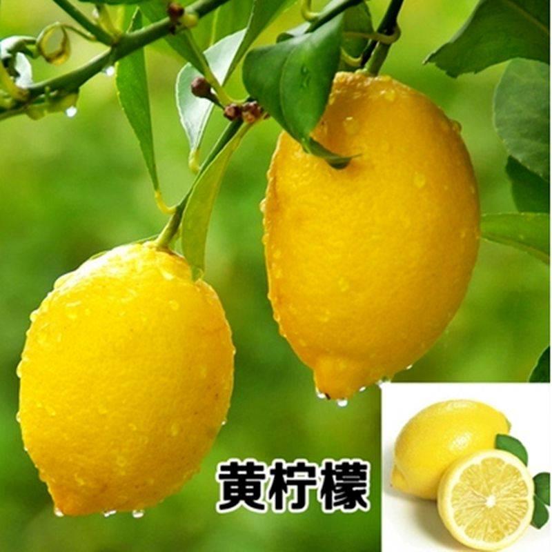 香水檸檬苗