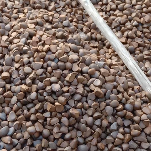 廣東省肇慶市高要區大果油茶籽
