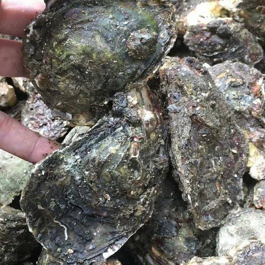 廣東省潮州市饒平縣 牡蠣
