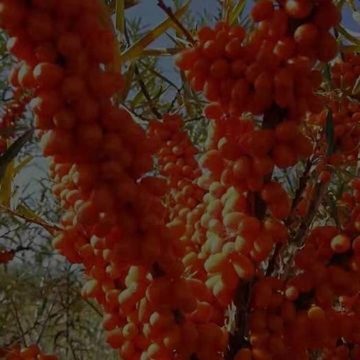 遼寧省阜新市蒙古族自治縣 沙棘苗果實樣品