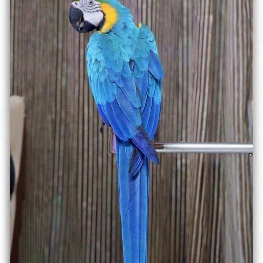 廣東省廣州市番禺區金太陽鸚鵡 藍黃金剛