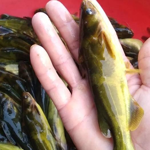 湖北省武漢市蔡甸區雜交黃骨魚 人工養殖 0.05公斤