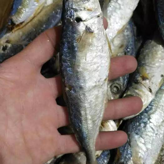 廣東省茂名市電白區 茂名電白漁民自曬魚干,巴浪魚干 漁民自煮自曬魚干,鮮甜可口