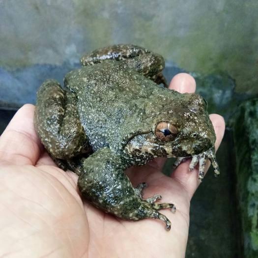 福建省南平市建甌市石蛙 人工養殖