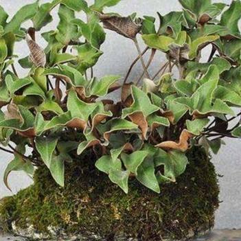 石韦 石苇盆景   刀口药   多年生草本植物
