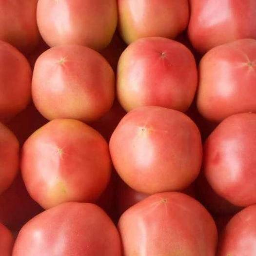 河北省唐山市樂亭縣粉果番茄 通貨 弧二以上 軟粉