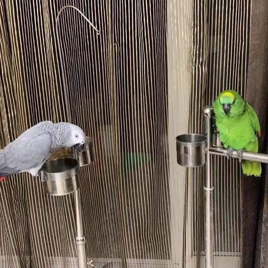 廣東省廣州市番禺區金太陽鸚鵡 藍帽鸚鵡