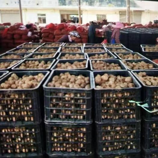 云南省曲靖市富源縣 魔芋種子都是基地采挖,脫水消毒處理魔芋種子