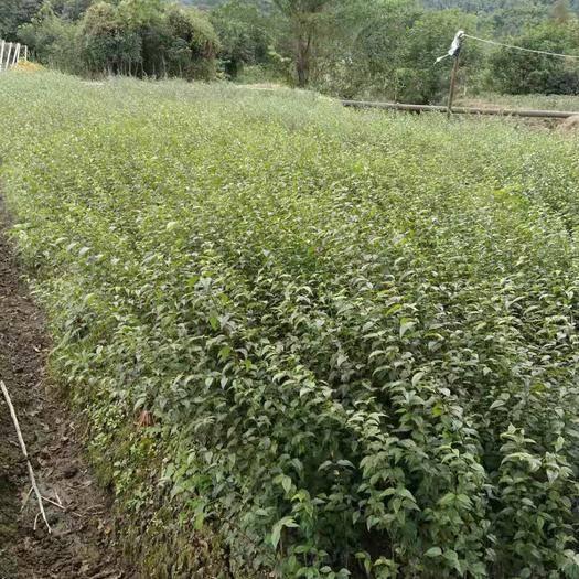 四川省雅安市名山區苦丁茶苗 出售小葉苦丁茶。