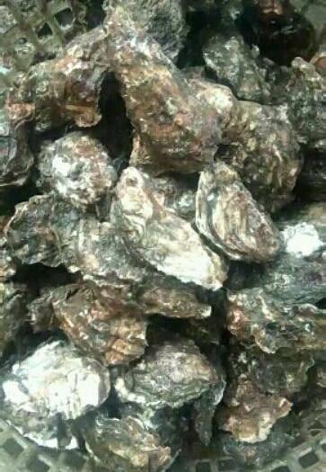 遼寧省丹東市東港市 朝鮮邊貿牡蠣肥度保證一手貨源有量的老板聯系我