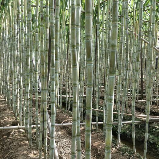 廣東省廣州市南沙區紅甘蔗 6 - 8cm 2.5 - 3m