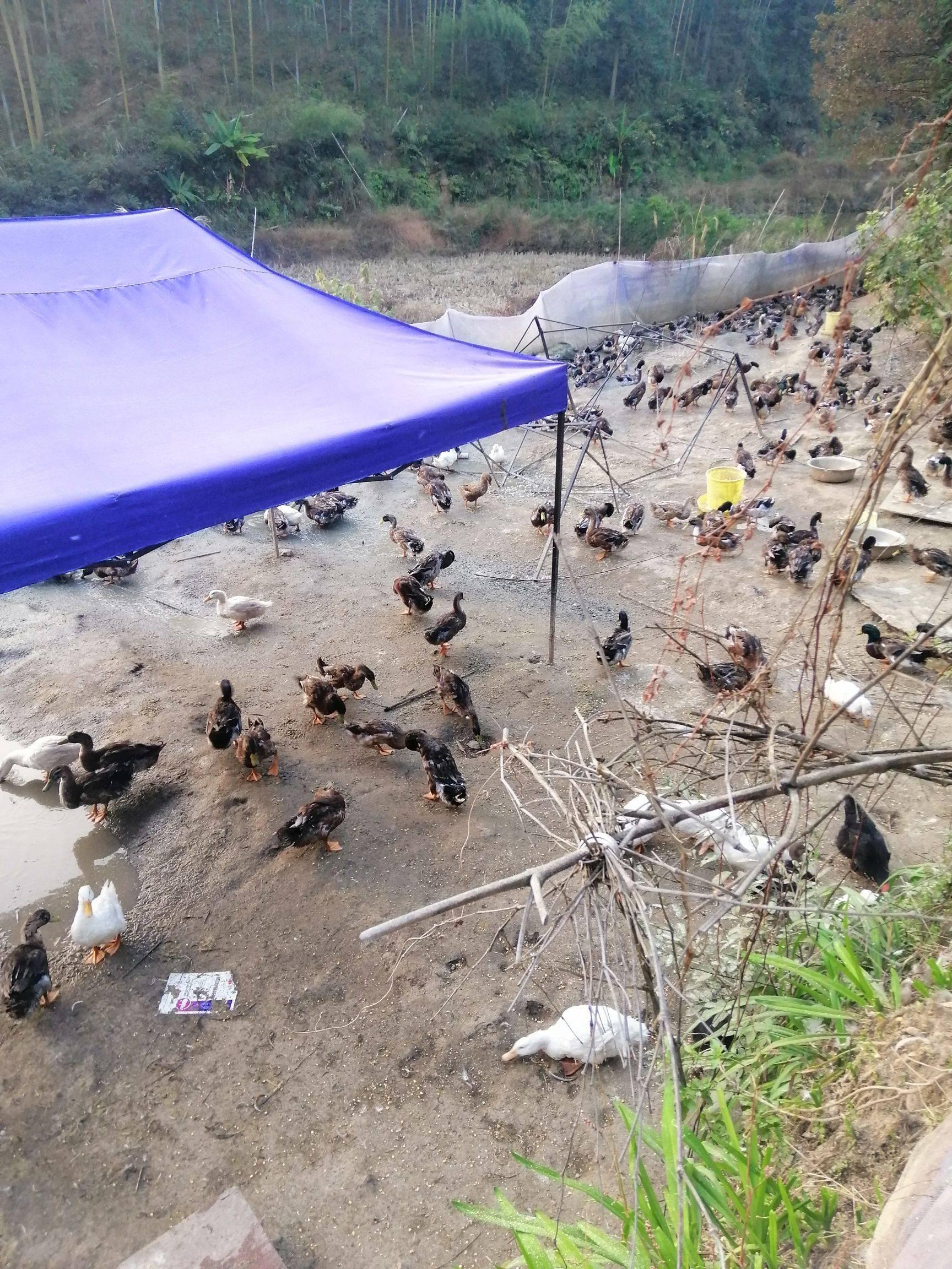 [鸭肉类批发]鸭肉类 110多天的麻鸭,白鸭,散养喂玉米的价格12元/斤