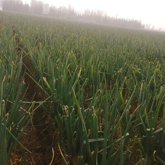 山東省東營市廣饒縣 批發章丘大蔥 蔥白長40到50Cm 直徑3到4厘米 協助