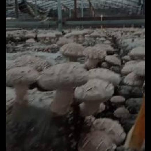 河南省南陽市淅川縣 干香菇,鮮菇,大量有貨。需要的聯系。