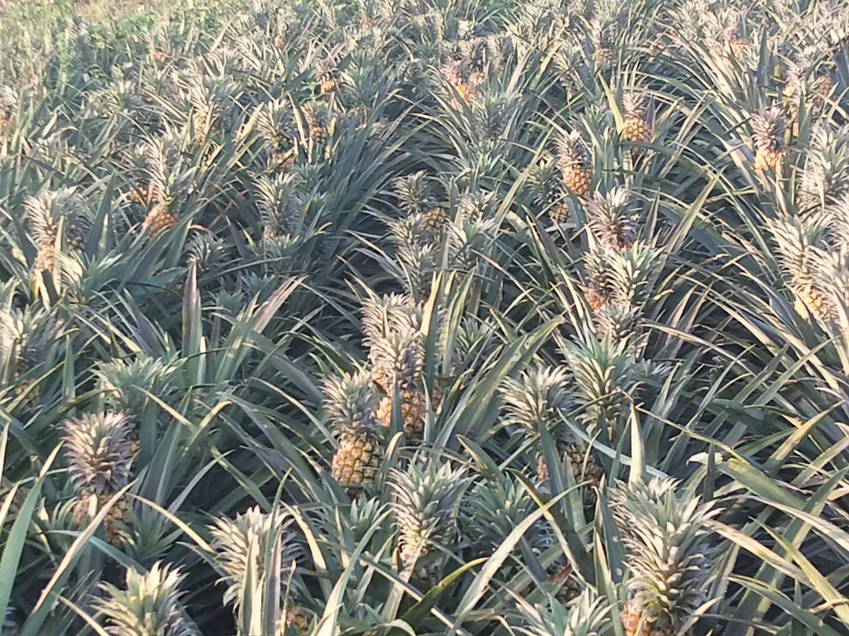中國最南端菠蘿之鄉——徐聞菠蘿