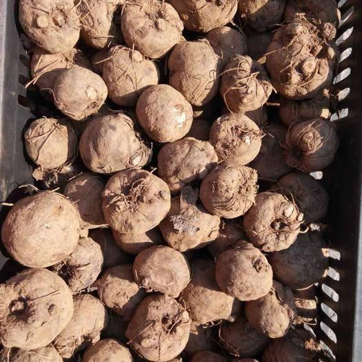 云南省曲靖市富源縣 基地采挖,脫水消毒處理魔芋種子