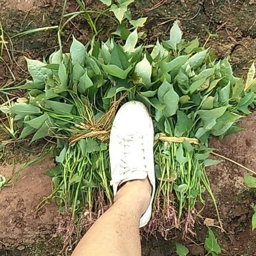 河南省焦作市沁陽市 大量商薯19紅薯苗供應