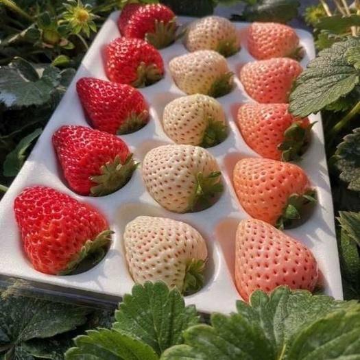 四川省廣元市蒼溪縣 日本淡雪草莓