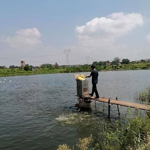 湖北省荊門市沙洋縣池塘草魚 長湖之畔,現有四大家魚6一7萬斤預出售,有意者聯系