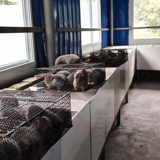 廣西壯族自治區桂林市恭城瑤族自治縣 長年養殖,一批批的優質竹鼠苗,可實地考察……