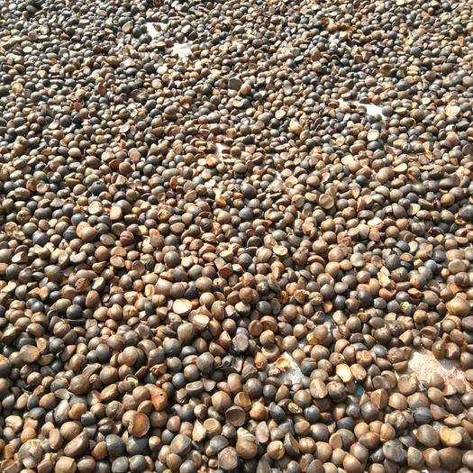 云南省文山壯族苗族自治州富寧縣 農村人自己生產的山茶籽  出油率28斤左右