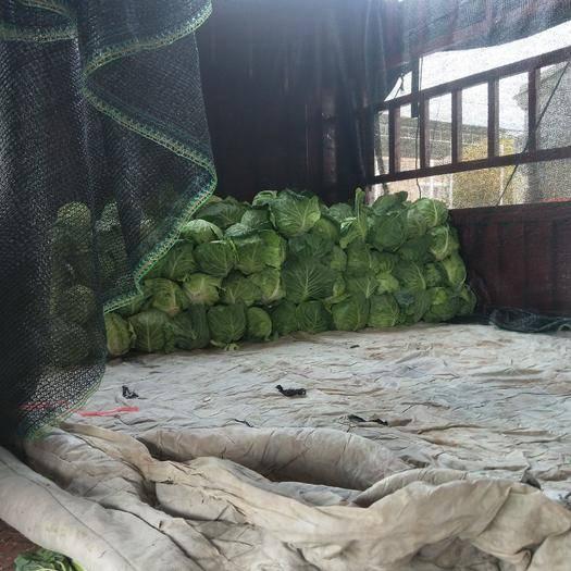 江蘇省徐州市銅山區冬綠甘藍 徐州綠甘藍海量上市了,品質優惠,價格合理
