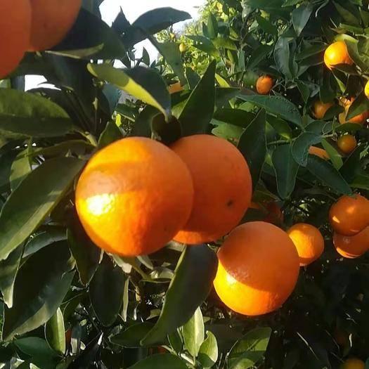 廣西壯族自治區桂林市永福縣東方紅桔 大量供應東方紅,喜歡的請關注
