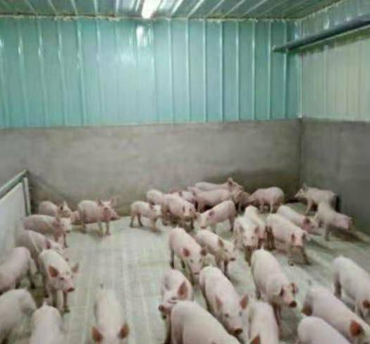 江蘇省南京市雨花臺區 長白母豬蘇太母豬  苗豬,公母仔豬 供應規格:20-200斤