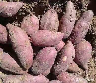河南省周口市淮陽縣 紅薯