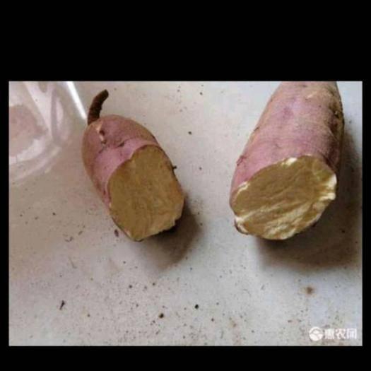 山東省棗莊市滕州市日本凌紫 80畝日本紅瑤