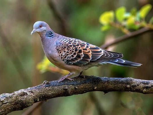 安徽省池州市東至縣 野生斑鳩