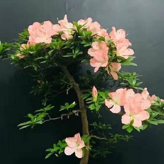 云南省昆明市呈貢區杜鵑苗 日本進口皋月杜鵑袋苗,若惠比須夏鵑,名貴稀有品種