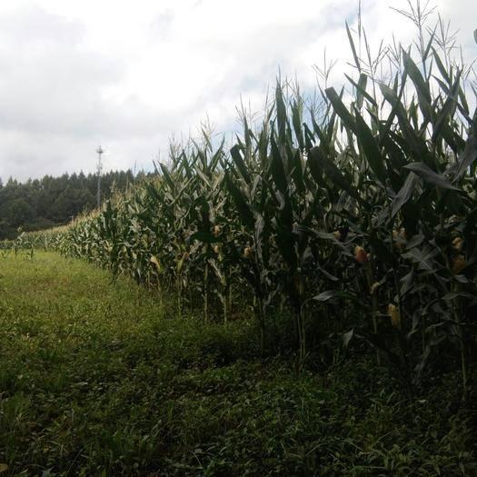 吉林省白山市撫松縣蠡玉16玉米粒 我要賣新玉米三十噸