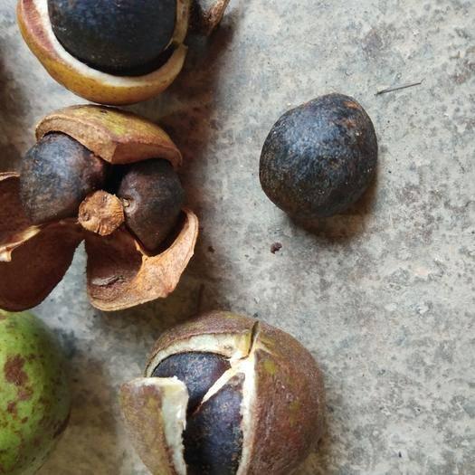 廣西壯族自治區百色市右江區 四十年野山老樹茶籽油果!